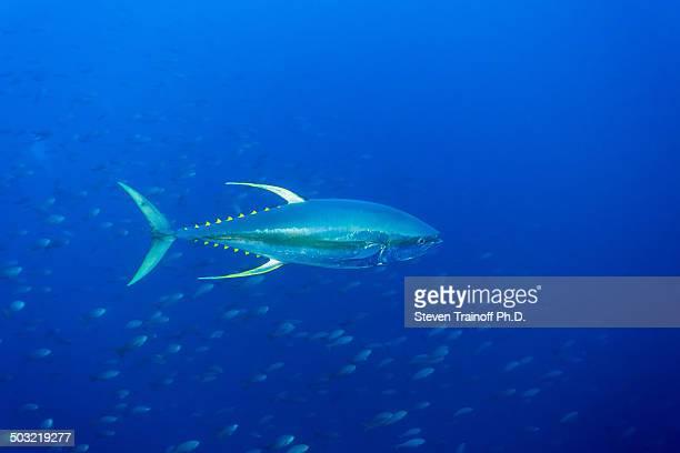 yellowfin tuna (thunnus albacares) - yellowfin tuna stock photos and pictures