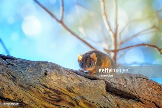 yellow-footed antechinus - marsupial imagens e fotografias de stock