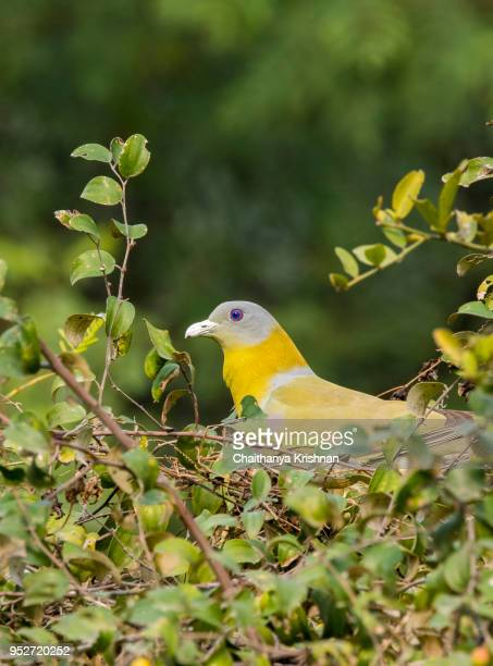 A yellow-footed green pigeon on a berry tree eating berries