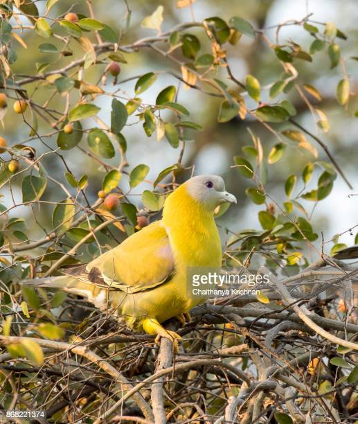 yellow-footed green pigeon sitting on a branch - terai stock pictures, royalty-free photos & images