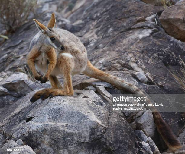 yellow-footed rock-wallaby on rocks - kangaroo island stock photos and pictures