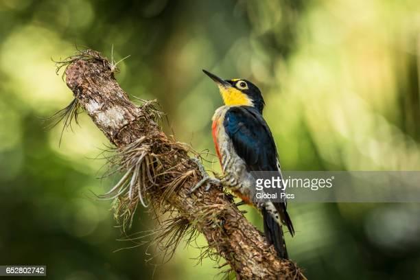 Pica-pau-de-fronte amarelo (Melanerpes flavifrons)