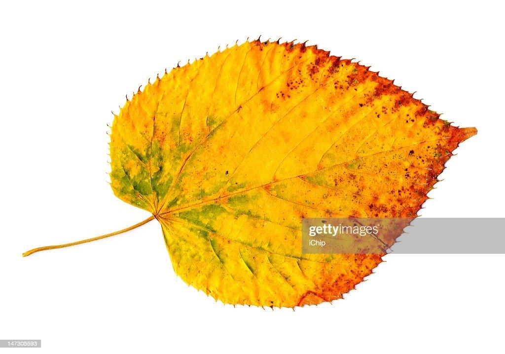 Yellow-golden autumn leaf on white : Stock Photo