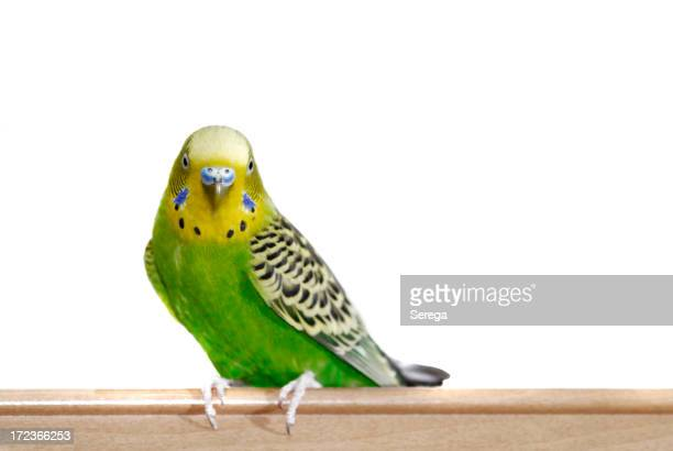Yellow-Green budgie