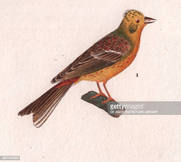 Yellowhammer colour copper engraving retouched in watercolour 9x15 cm from Dizionario delle scienze naturali compilato da vari professori del...