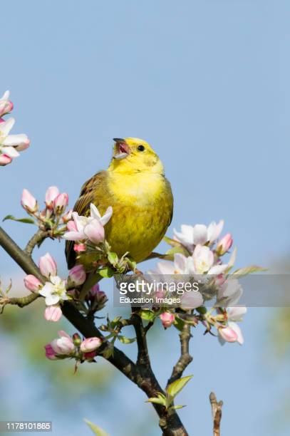 Yellowhammer Emberiza citrinella in song Norfolk April