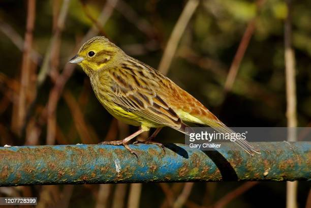 yellowhammer [emberiza citrinella] - bunting stock pictures, royalty-free photos & images