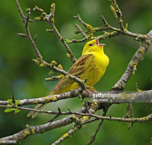 Yellowhammer [Emberiza citrinella]