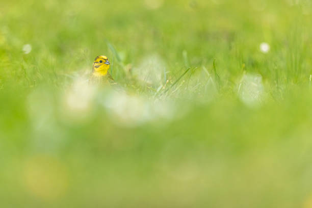 Yellowhammer on grassland