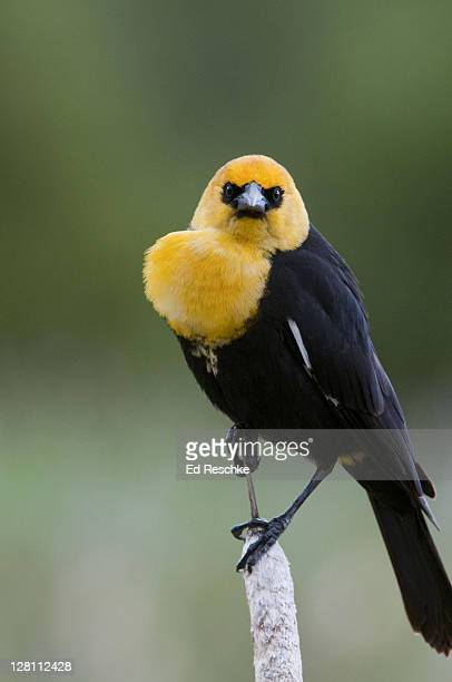 yellow-headed blackbird, xanthocephalus xanthocephalus. male displaying and looking angry. habitat: freshwater marshes or reedy lakes; often seen foraging in open farmlands and grainfields. national bison range, montana. - ed reschke photography stock photos and pictures
