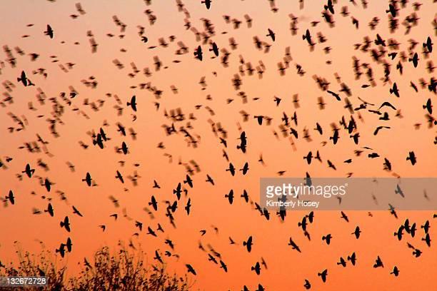 yellow-headed blackbirds - arizona bird stock pictures, royalty-free photos & images