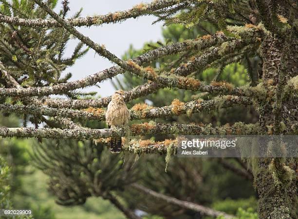 a yellow-headed caracara, milvago chimachima, perching on a mossy tree in urubici, brazil.  - alex saberi 個照片及圖片檔
