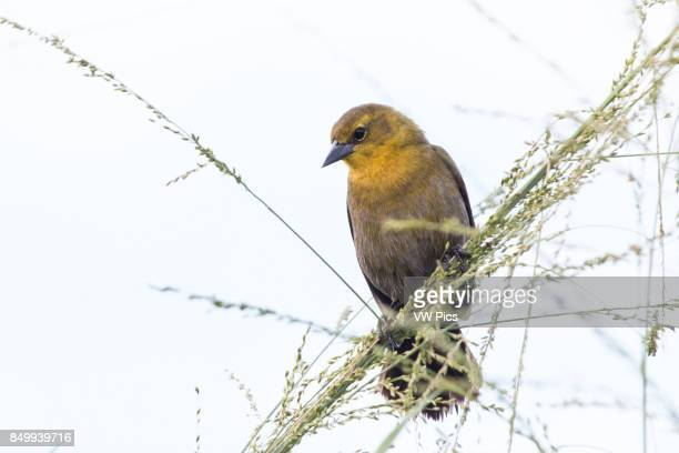 Yellowhooded blackbird singing in bushs near water in Magdalena river valley Tolima Colombia