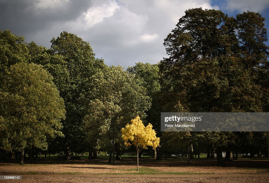 A yellowing tree stands alone in Hyde Park on October 12, 2012 in London, England. Autumnal colours are beginning to show in parts of the United Kingdom.