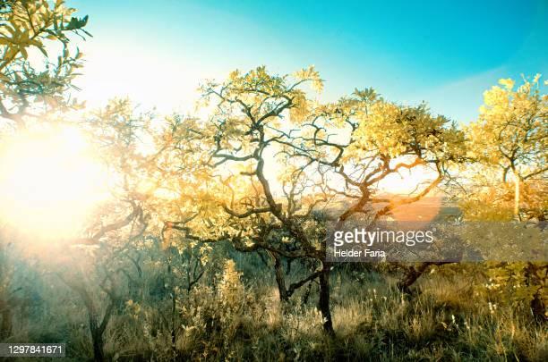 yellowish infrared photography portrait of brazilian cerrado - cerrado stock pictures, royalty-free photos & images