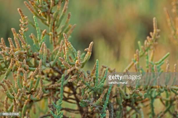 Yellowish shoots of glaucous glasswort (Arthrocnem