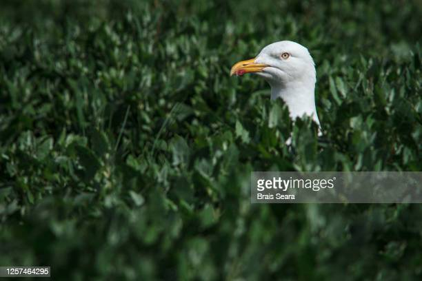 yellow-legged gull (larus cachinnans) between vegetation - biodiversity stock pictures, royalty-free photos & images