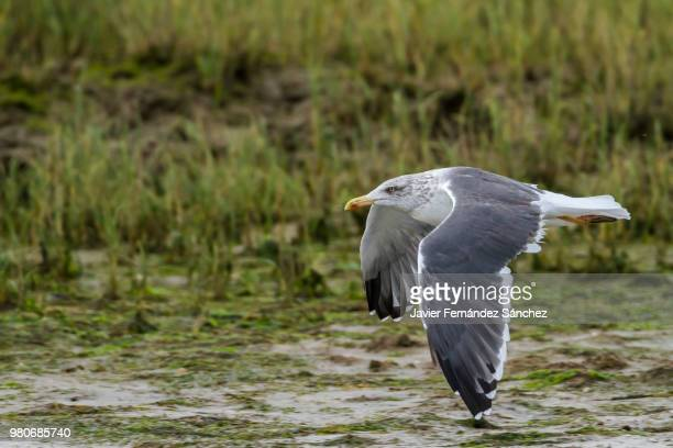a yellow-legged gull flying over the marsh in search of food, in the camargue. larus cachinnans michahellis. - サントマリードラメール ストックフォトと画像