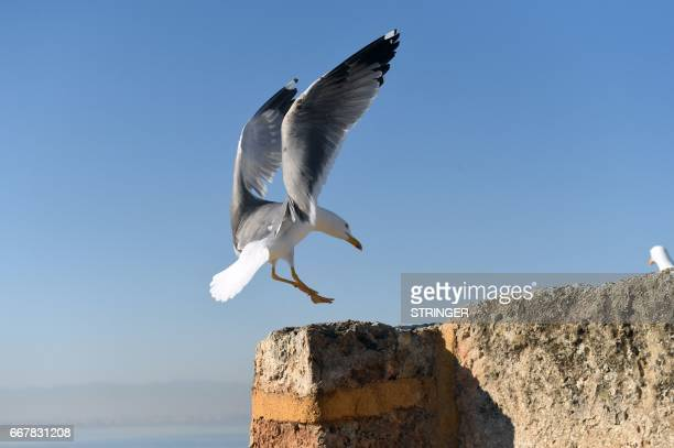 A Yellowlegged Gull lands near the Tamentfoust harbor east of the capital Algiers on March 19 2017 The Yellowlegged Gull only recently classified as...