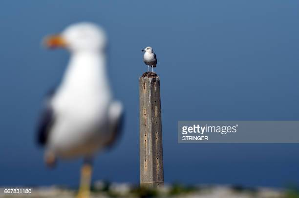 A Yellowlegged Gull perches on a pole near the Tamentfoust harbor east of the capital Algiers on March 19 2017 The Yellowlegged Gull only recently...