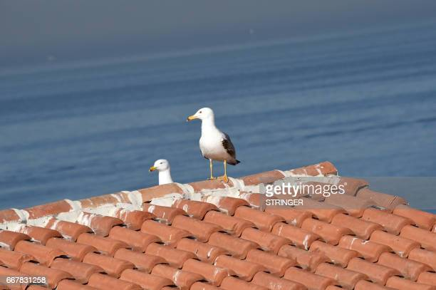 A Yellowlegged Gull perches on a rooftop near the Tamentfoust harbor east of the capital Algiers on March 19 2017 The Yellowlegged Gull only recently...
