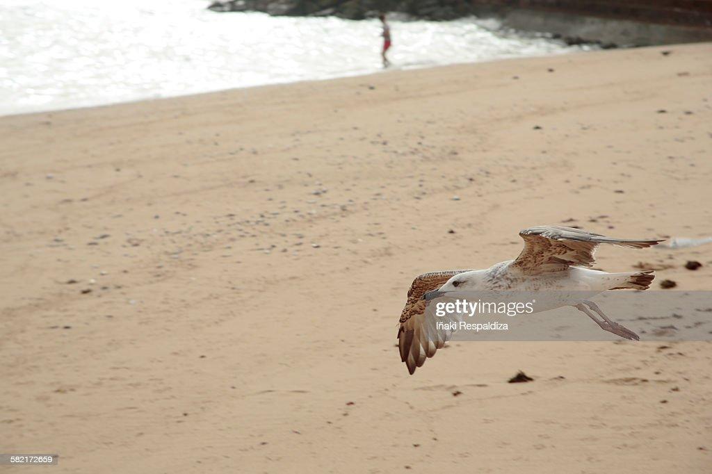 Yellow-legged gull : Foto de stock
