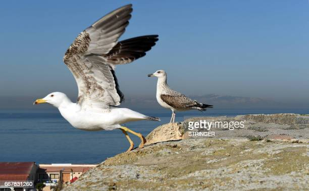 A Yellowlegged Gull takes flight as another perches on a cliff near the Tamentfoust harbor east of the capital Algiers on March 19 2017 The...