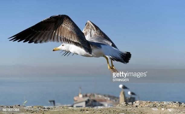 A Yellowlegged Gull takes flight near the Tamentfoust harbor east of the capital Algiers on March 19 2017 The Yellowlegged Gull only recently...