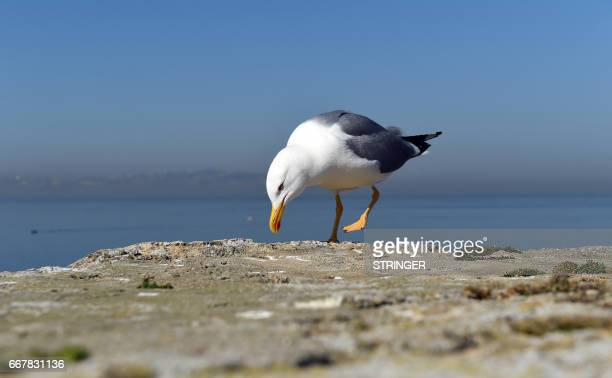 A Yellowlegged Gull walks near the Tamentfoust harbor east of the capital Algiers on March 19 2017 The Yellowlegged Gull only recently classified as...