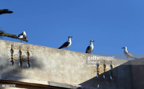 Yellowlegged gulls perch on a rooftop near the Tamentfoust harbor east of the capital Algiers on March 19 2017 The Yellowlegged Gull only recently...