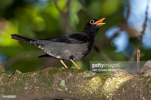 yellow-legged thrush - lijster stockfoto's en -beelden