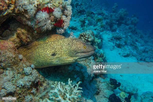 yellowmargin moray - saltwater eel stock photos and pictures