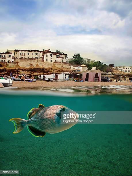 yellowmargin triggerfish - sharm el sheikh foto e immagini stock