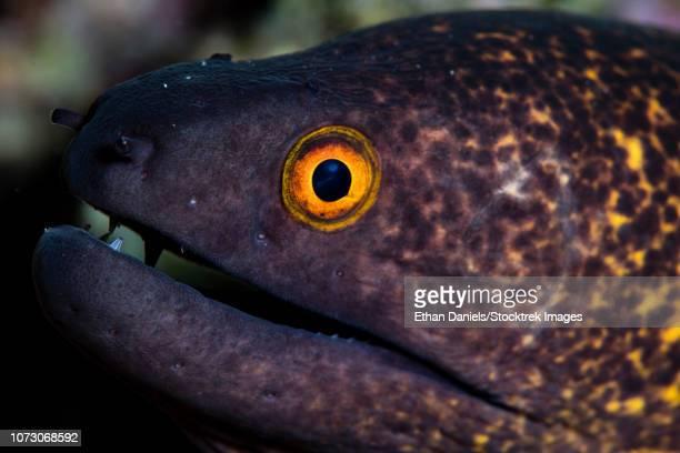 A yellow-margined moray eel, Gymnothorax flavimarginatus