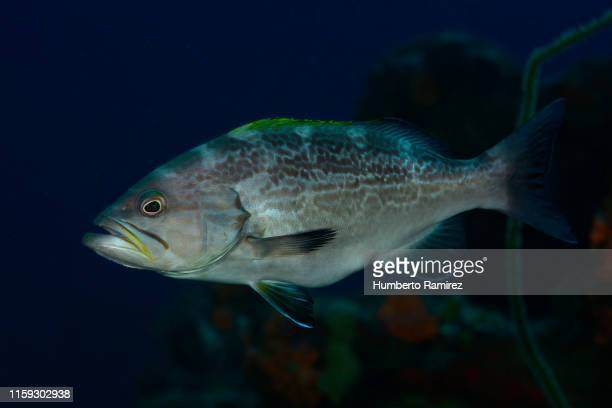 World's Best Bass Underwater Stock Pictures, Photos, and ... Yellowmouth Grouper Photos