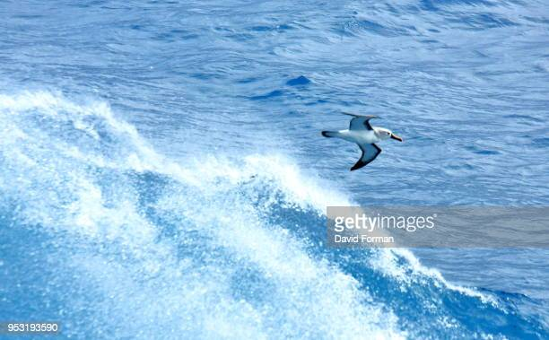 yellow-nosed albatross near tristan da cunha island, south atlantic - tristan da cunha eiland stockfoto's en -beelden