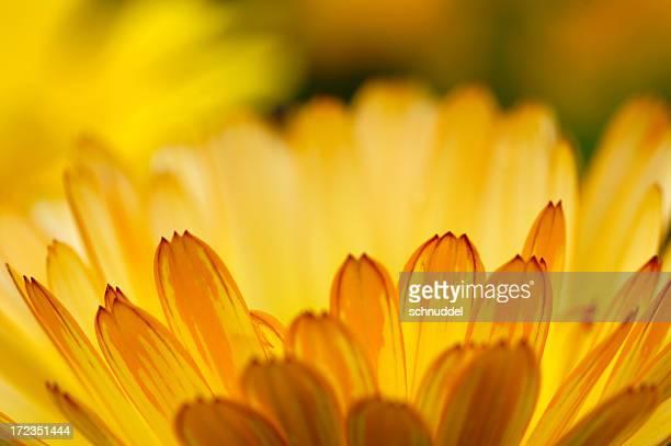 giallo-arancione tagete - agosto foto e immagini stock