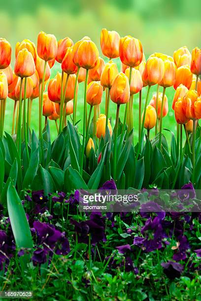 yellow-orange turkish tulip - african violet stock photos and pictures