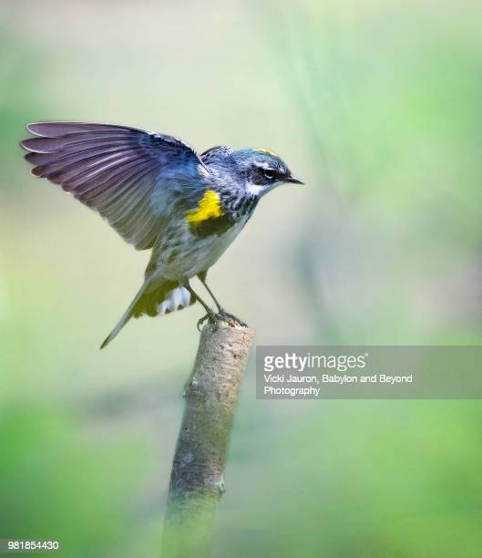 """yellow-rumped """"myrtle"""" warbler in breeding colors - warbler stock pictures, royalty-free photos & images"""