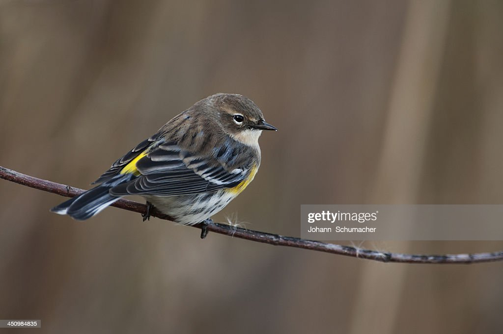Yellow-rumped warbler in fall migration : Stock Photo