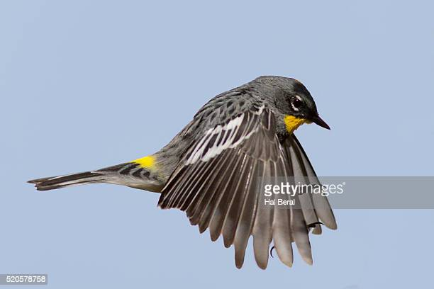 yellow-rumped warbler in flight - warbler stock pictures, royalty-free photos & images