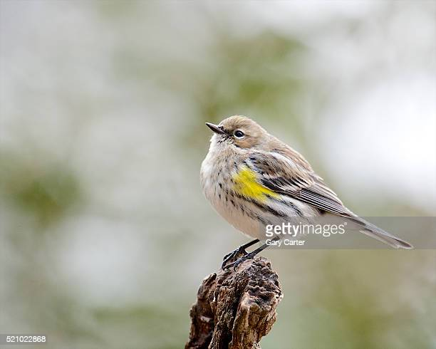 Yellow-rumped Warbler, McLeansville, North Carolina, USA