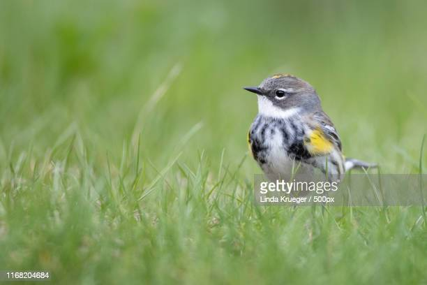 yellow-rumped warbler - warbler stock pictures, royalty-free photos & images