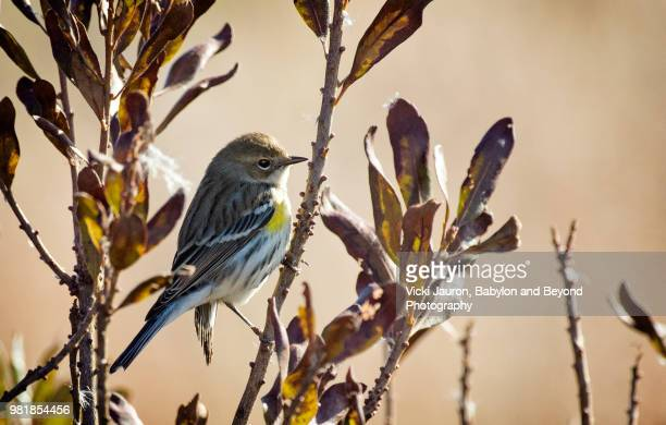Yellow-Rumped Warbler Profile Against Tree and Gold