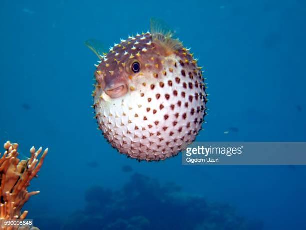 Yellowspotted Burrfish, Cyclichthys spilostylus, Sharm el Sheikh, Sinai, Red Sea, Egypt