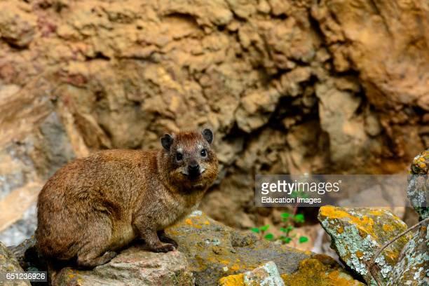 Yellowspotted hyrak rock hyrax or bush hyrax or Dassie Heterohyrax brucei Hells Gate National Park Naivasha Great Rift Valley Kenya
