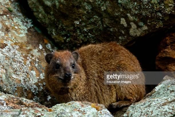 Yellowspotted hyrak rock hyrax or bush hyrax or Dassie Heterohyrax brucei Hells Gate National Park Naivasha Great Rift Valley Kenya