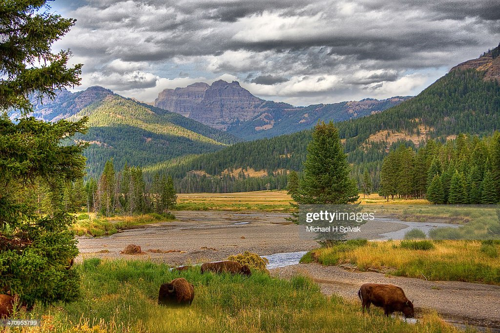 Yellowstone Bison : Stock Photo