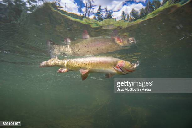 A Yellowstone Cutthroat trout underwater with a fly in its mouth.