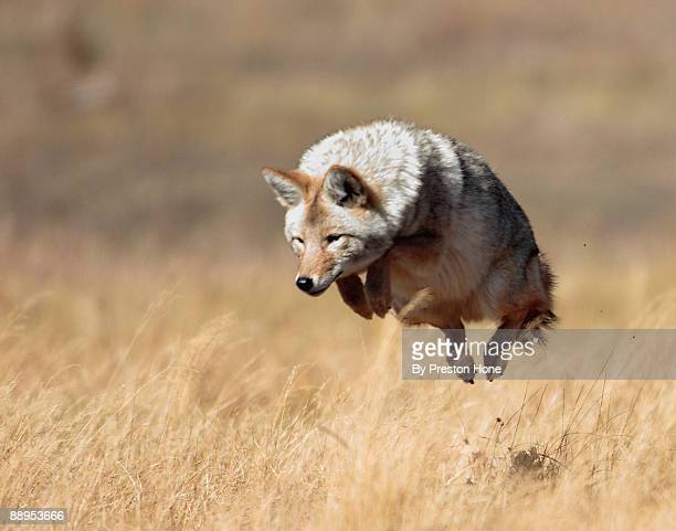 yellowstone high jump - coyote stock pictures, royalty-free photos & images